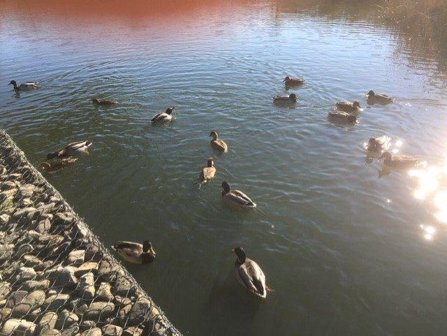 patos en los humedales de salburua ataria para niños